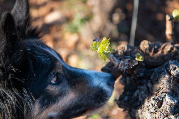 chien reniflant un bourgeon de vigne