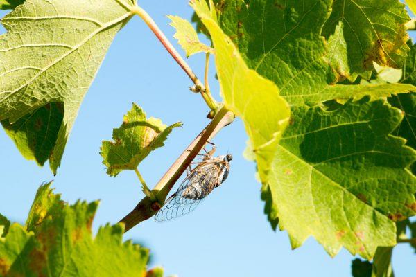 Cigale sur feuille de vigne