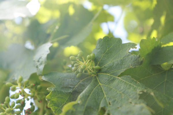 Grappes de vignes au printemps