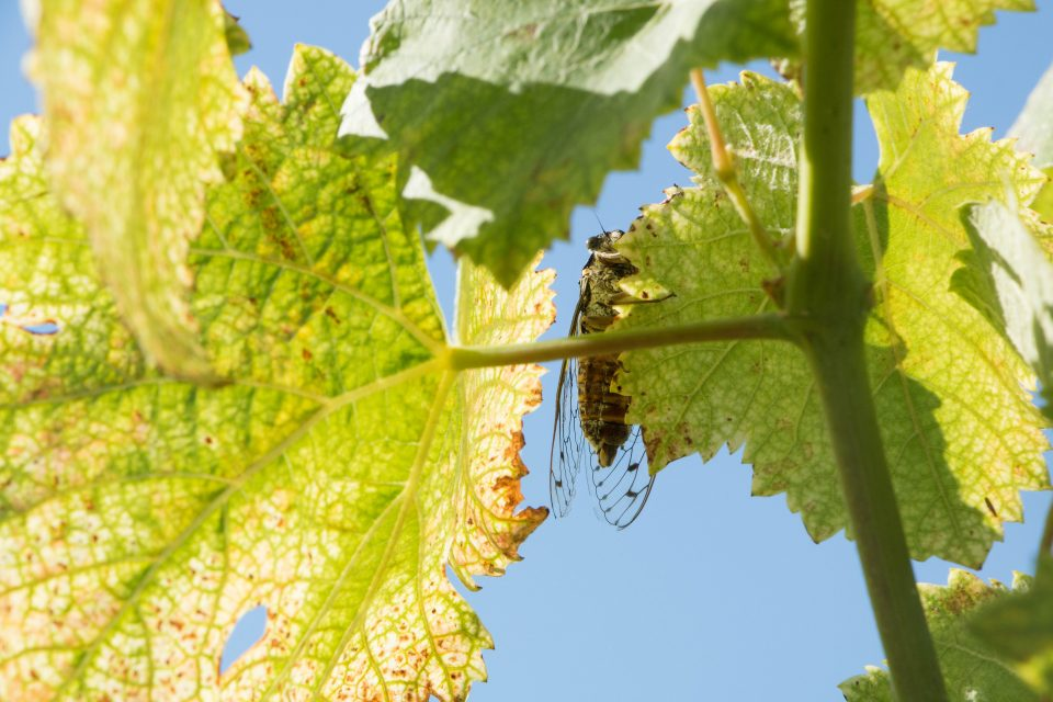 Mildew: Terrible enemy of winegrowers!