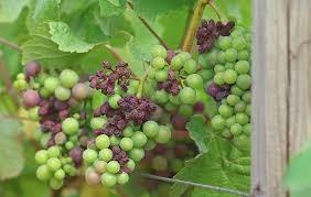 Mildiou sur grappe de vigne