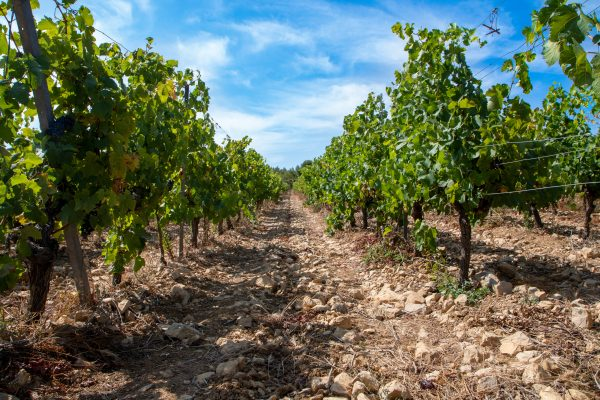 Vignoble des Peyrals de Château Haut-Blanville