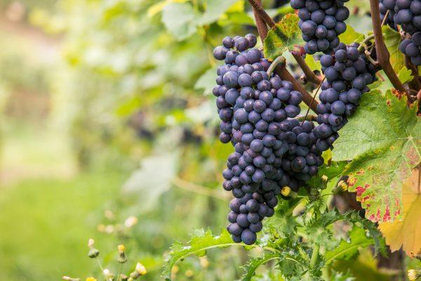 Pinot Noir Blanville